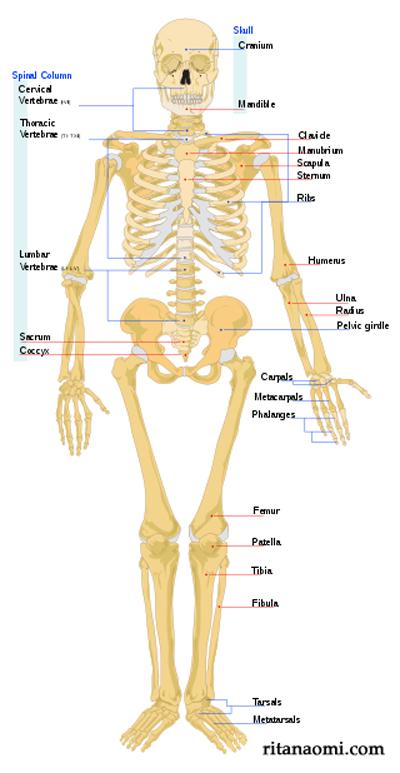 human_skeleton